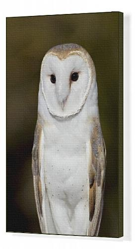 Canvas Print of Barn Owl