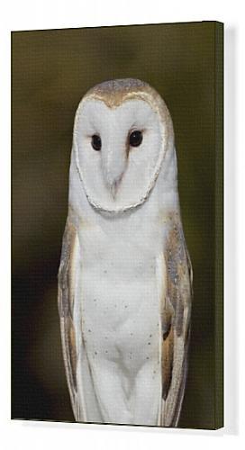 Canvas Print of Barn Owl